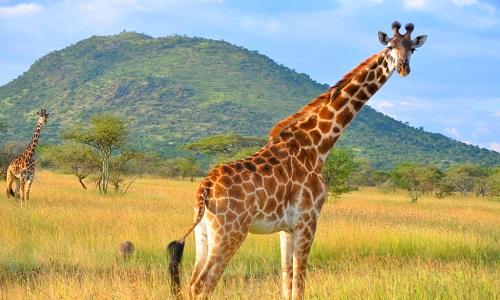 Serengeti-national-park-tanzania-giraffe-image
